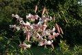 Bild zu Lilium speciosum - Pracht-Lilie