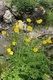 Bild zu Meconopsis cambrica - Wald-Scheinmohn