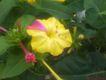 Bild zu Mirabilis jalapa - Wunderblume