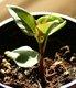 Keimling zu Mirabilis jalapa - Wunderblume