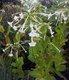 Bild zu Nicotiana sylvestris - Ziertabak