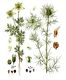 Bild zu Nigella damascena - Gartenschwarzkümmel