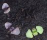 Keimling zu Ocimum basilicum - Basilikum