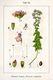 Bild zu Origanum vulgare - Oregano