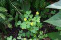 Bild zu Oxalis stricta L. - aufrechter Sauerklee