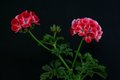 Bild zu Pelargonium - Geranie