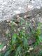 Bild zu Polygonum persicaria - Pfirsichblättriger Knöterich