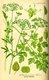 Bild zu Petroselinum crispum - Petersilie
