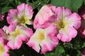 Bild zu Petunia x hybrida - Petunie