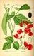 Bild zu Phaseolus coccineus - Feuerbohne