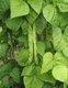 Bild zu Phaseolus vulgaris - grüne Bohne