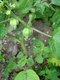 Bild zu Physalis pruinosa - Ananaskirsche