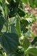 Bild zu Pisum sativum var. saccharatum - Zuckererbse