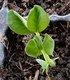 Keimling zu Pisum sativum - Erbse