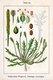 Bild zu Plantago coronopus L. - Hirschhorn-Wegerich