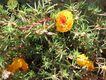 Bild zu Portulaca grandiflora - Portulakröschen