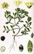 Bild zu Portulaca oleracea - Gemüse-Portulak