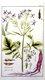 Bild zu Raphanus sativus var. Sativus - Radieschen