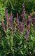 Bild zu Salvia nemorosa - Hainsalbei