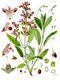 Bild zu Salvia officinalis - echter Salbei
