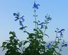 Bild zu Salvia patens - Enziansalbei