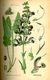Bild zu Salvia pratensis - Wiesensalbei