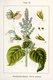 Bild zu Salvia sclarea - Muskatellersalbei