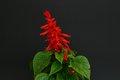 Bild zu Salvia splendens - Feuersalbei