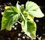 Keimling zu Salvia splendens - Feuersalbei