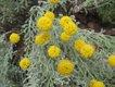 Bild zu Santolina chamaecyparissus - graues Heiligenkraut