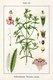 Bild zu Satureja hortensis - Gartenbohnenkraut