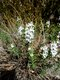 Bild zu Satureja montana - Winter-Bohnenkraut