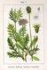 Bild zu Scabiosa columbaria - Tauben-Skabiose
