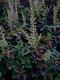 Bild zu Solenostemon scutellarioides - Buntnessel