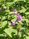 Bild zu Stachys macrantha - grossblütiger Ziest