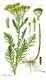 Bild zu Tanacetum vulgare - Rainfarn