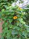 Bild zu Thunbergia alata - schwarzäugige Susanne