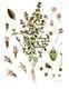 Bild zu Thymus vulgaris - Gartenthymian