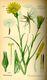Bild zu Tragopogon pratensis subsp. Orientalis - Wiesen-Bocksbart