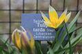 Bild zu Tulipa tarda - Tarda-Tulpe