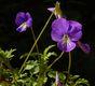 Bild zu Viola cornuta - Hornveilchen