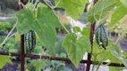 Bild zu Zehneria scabra - Cocktailgurke
