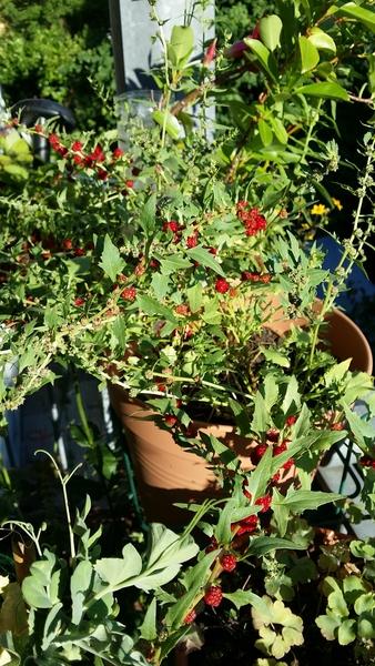 aussaat der tomatenpflanze schulprojekt